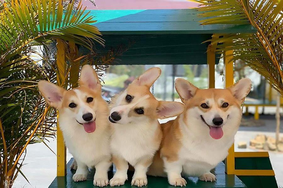 corgi dogs in puppy farm
