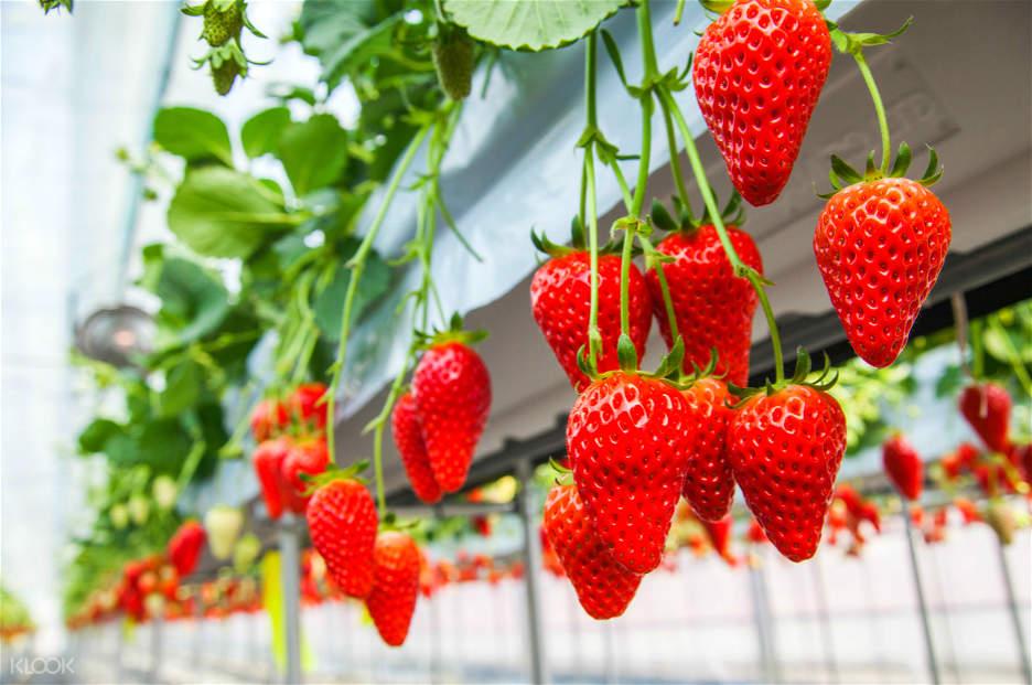 strawberries on stem