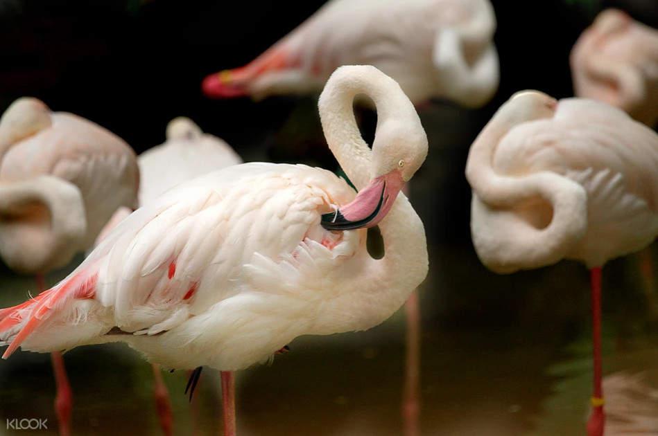 爱化摩沙野生动物园火烈鸟