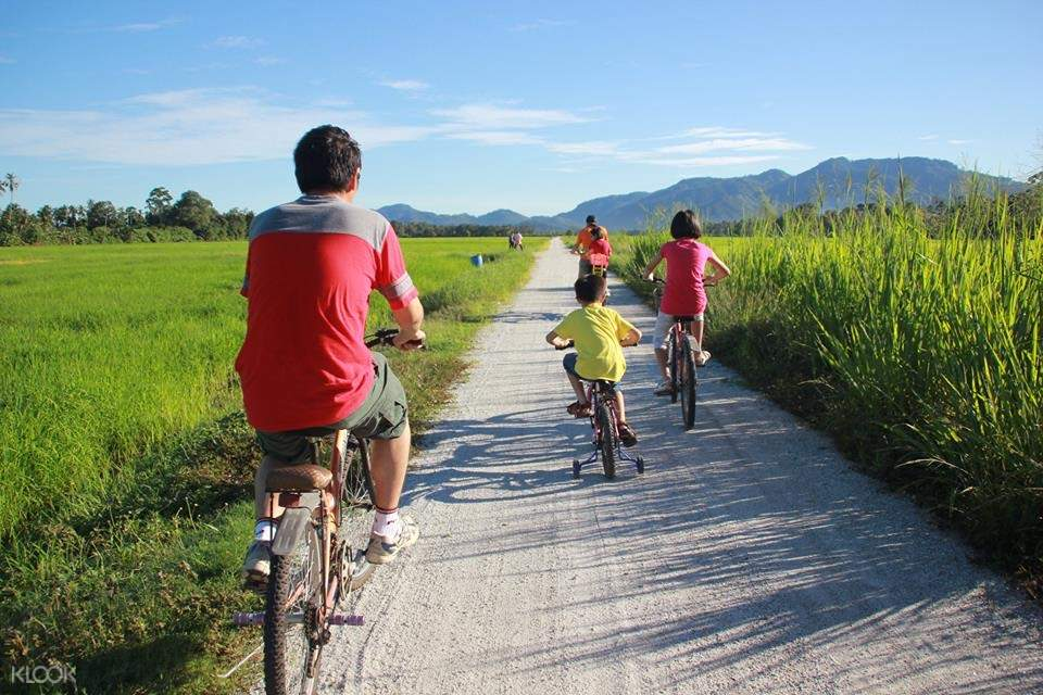 A family of four cycling on the road beside the paddy fields
