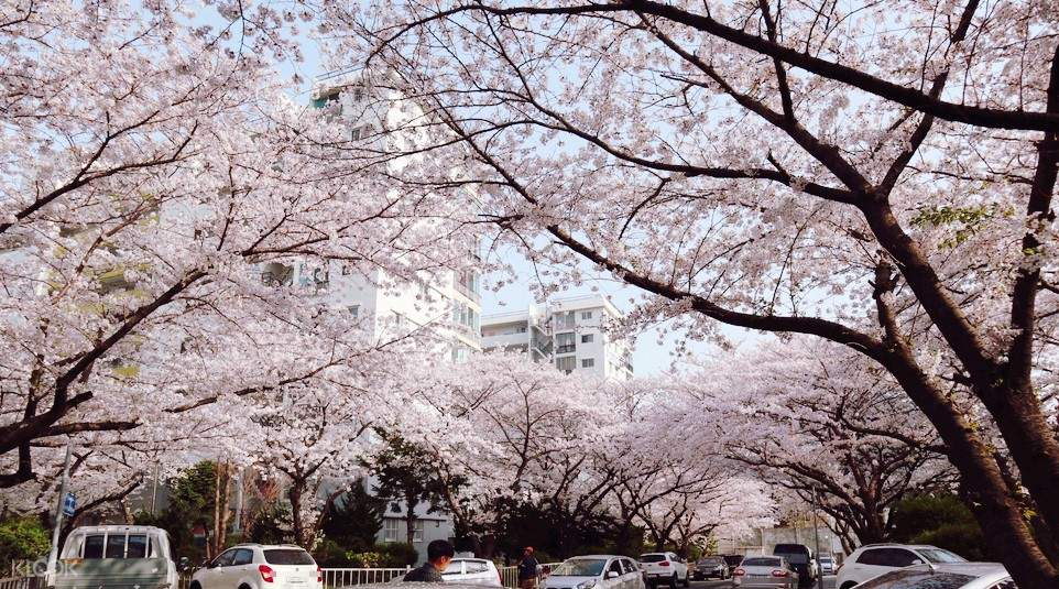 cherry blossom trees in busan