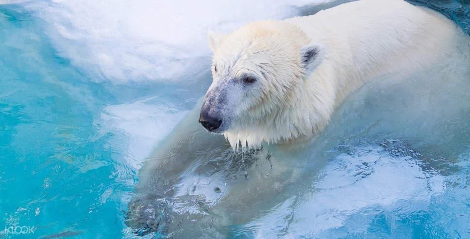 asahiyama zoo polar bear