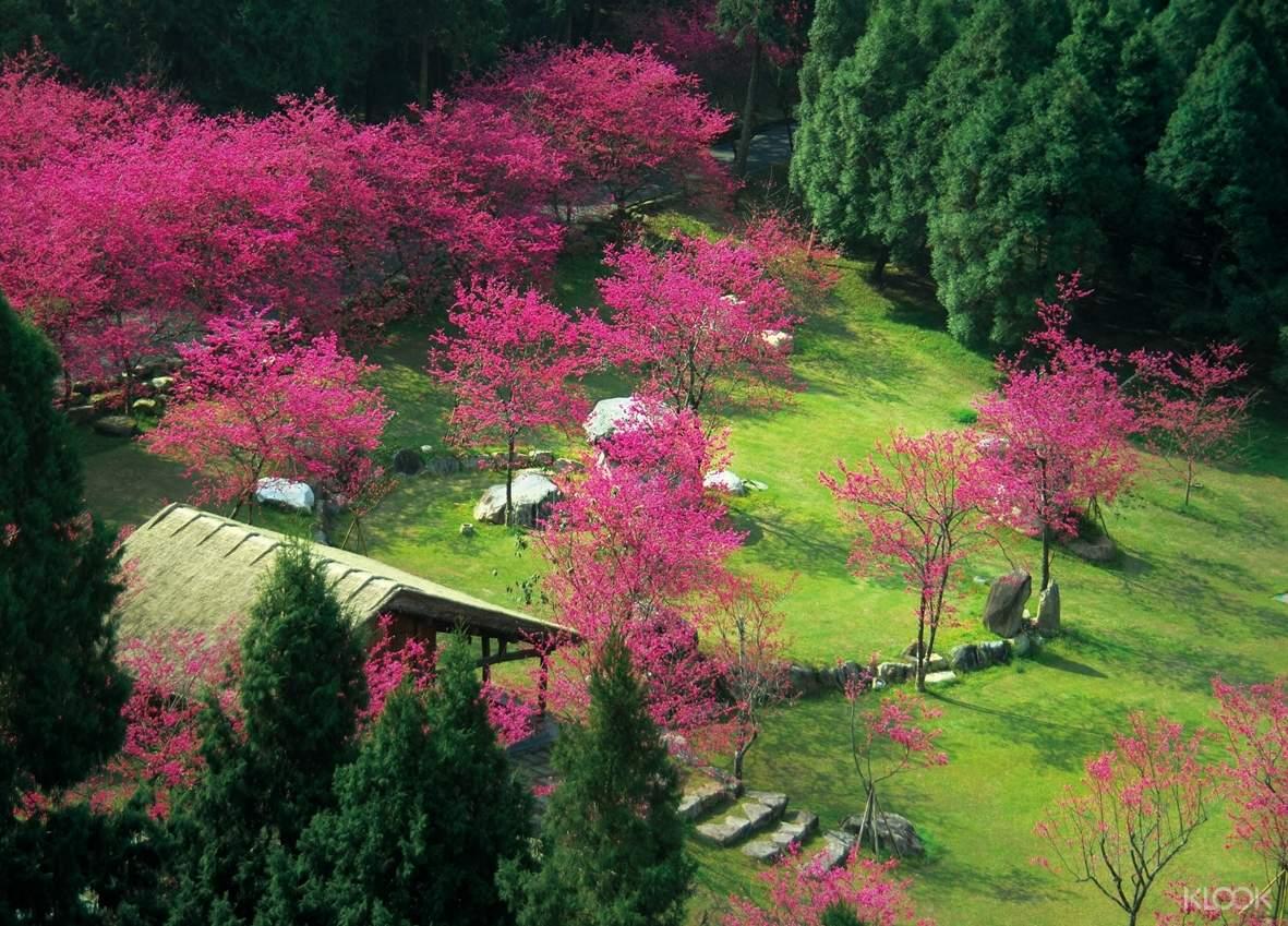盛開的花團錦簇濃密緋麗,在九族滿山春綠的環境背景中大量集中襯托下更顯得華麗動人