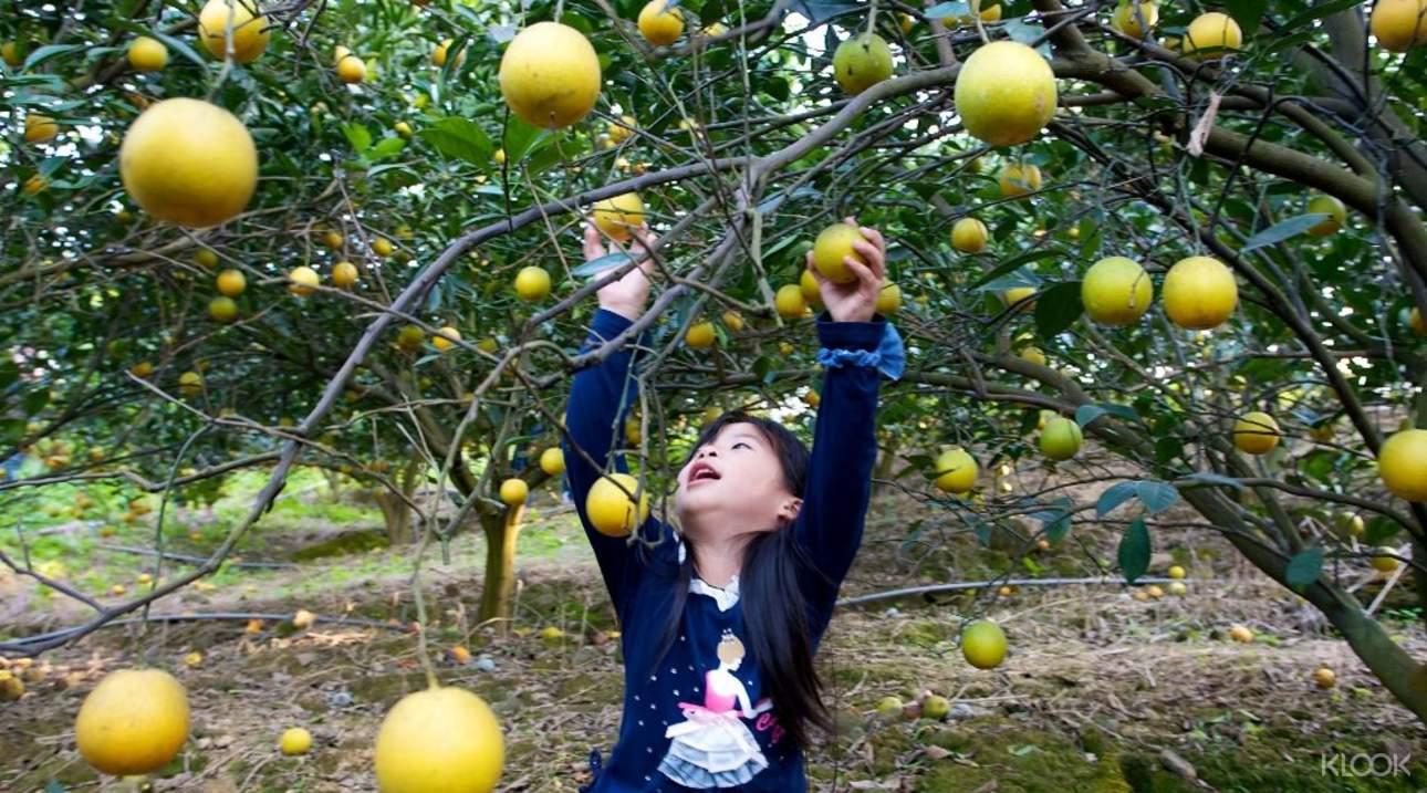 帶寶貝體驗小果農的採摘樂趣,從而激發孩子的好奇心
