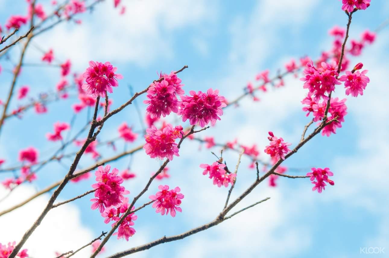 每年1 - 2月是山櫻花花季,快前來欣賞山櫻花之姿!