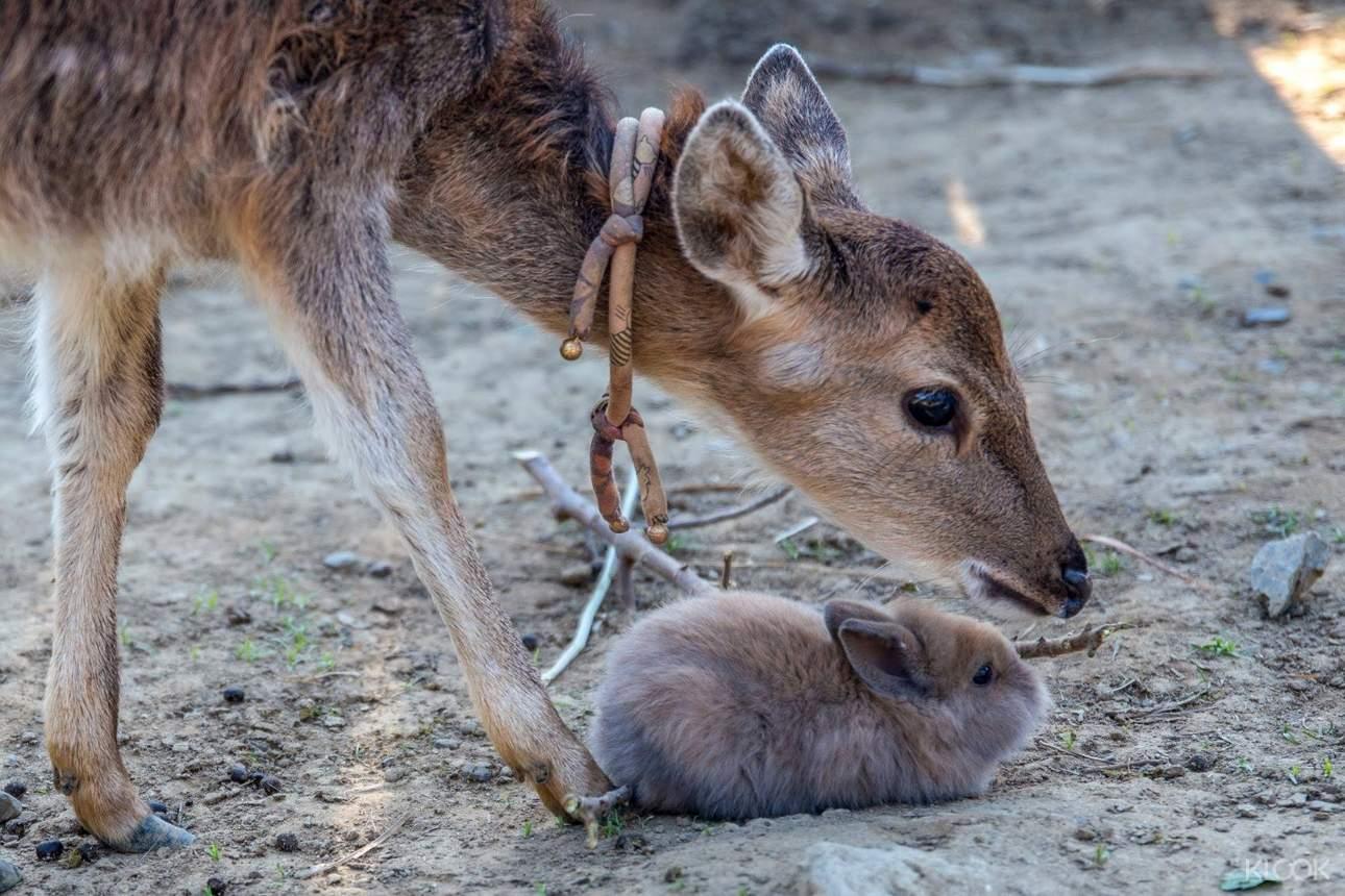 餵食可愛的梅花鹿與小兔子,近距離與動物互動