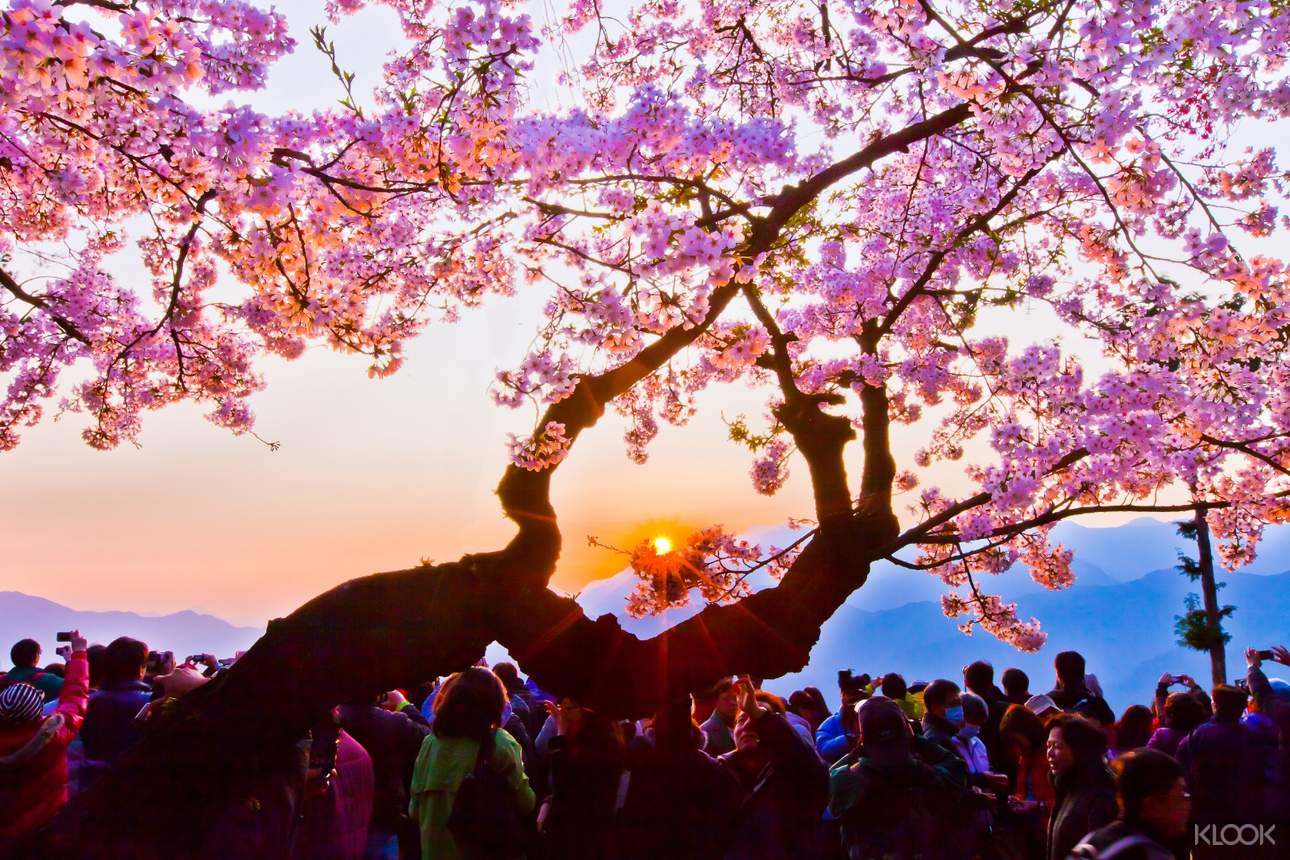 別錯過春季期間盛開的櫻花美景